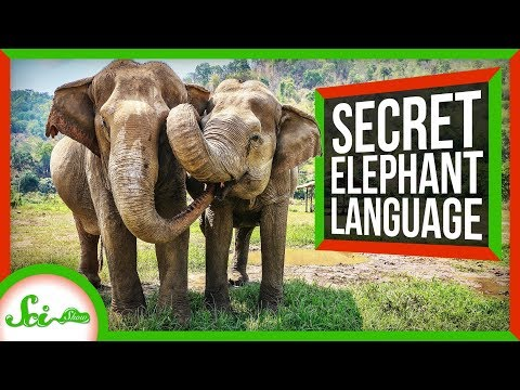The Secret Language Of Elephants