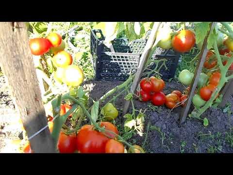 Какие ультраскороспелые сорта томатов высажу на следующий год? Точно не останусь без урожая!!!