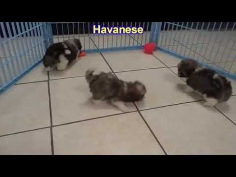 Havanese, Puppies, Dogs, For Sale, In Columbus, Macon, Georgia, GA, Athens, Augusta