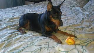 Цвергпинчеры щенки +79143881311 Sale puppi. Babydog.