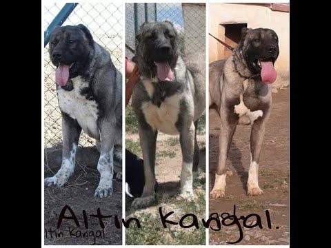 anatolian shepherd dog for sale