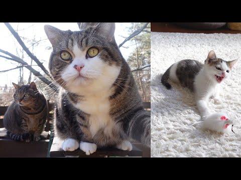 外で息抜きするねこと、シャーシャー言いながら遊ぶ子ねこ。-Maru&Hana take a break outside and Kitten Miri is hissing at a toy.-