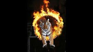 МаксБой пошел в цирк. Суматры. Королевские тигры. Цирк