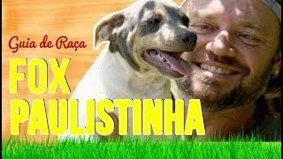 GUIA DE RAÇA FOX PAULISTINHA   TERRIER BRASILEIRO   RICHARD RASMUSSEN