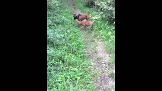 Staffordshire Bull Terrier Funny With Dachshund