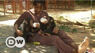 Yavru şempanzelere anne-baba oluyorlar - DW Türkçe
