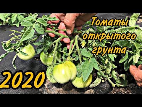 Вопрос: Какой у вас опыт выращивания томата монгольский карлик?