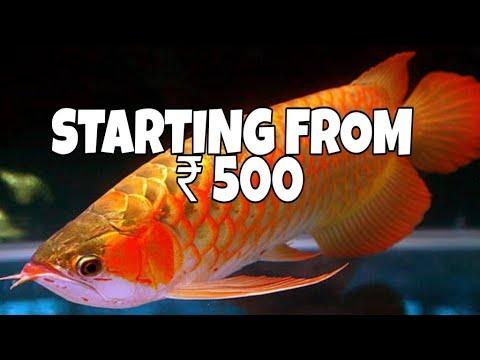 Arowana Fish Price In India | Prathmesh Aquatics