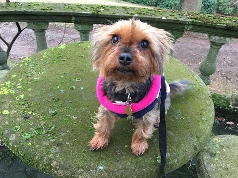 Maisie - Yorkshire Terrier - 5 Weeks Residential Dog Training
