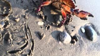 Crab comes for a visit at James Bay Victoria BC