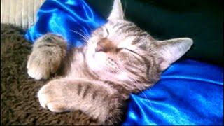 こたつで眠るメッチャ可愛い子猫! 『子猫のこだまちゃん』 thumbnail
