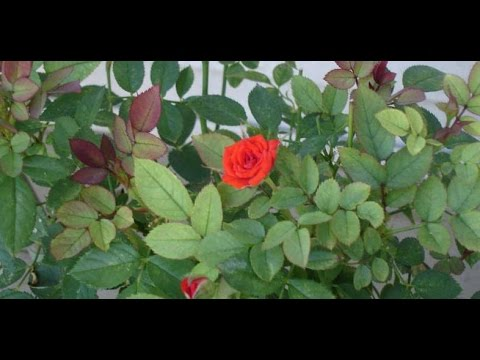 103# how to grow English Roses by Cutting