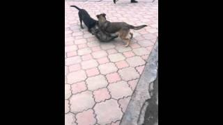 Сабаки не могут выебать одну собаку