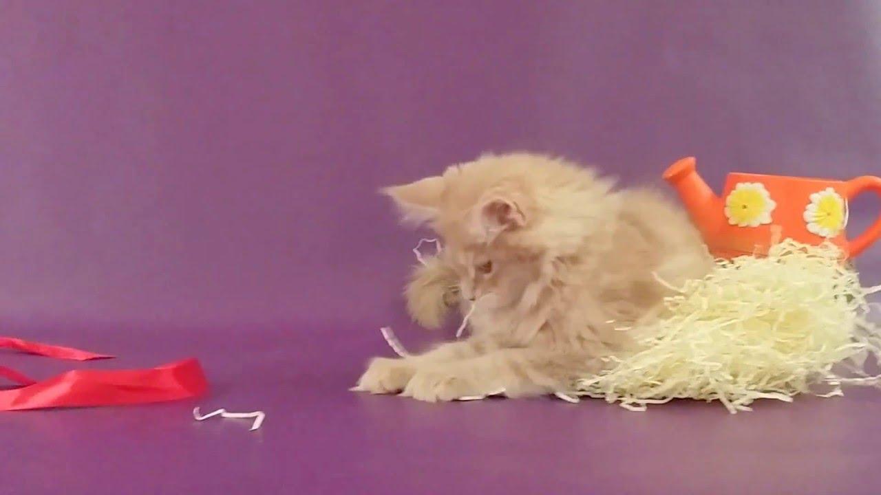 Котята мейн кун в возрасте 2 недели) - YouTube
