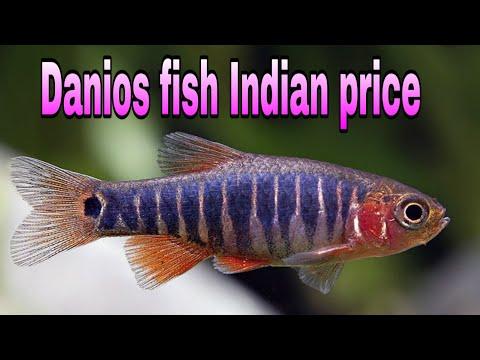Top 22 Aquarium Danios Fish Indian Price