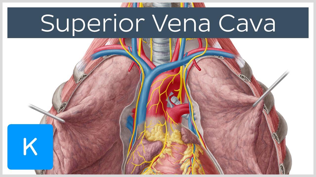 superior vena cava cardiovascular system | human anatomy - kenhub
