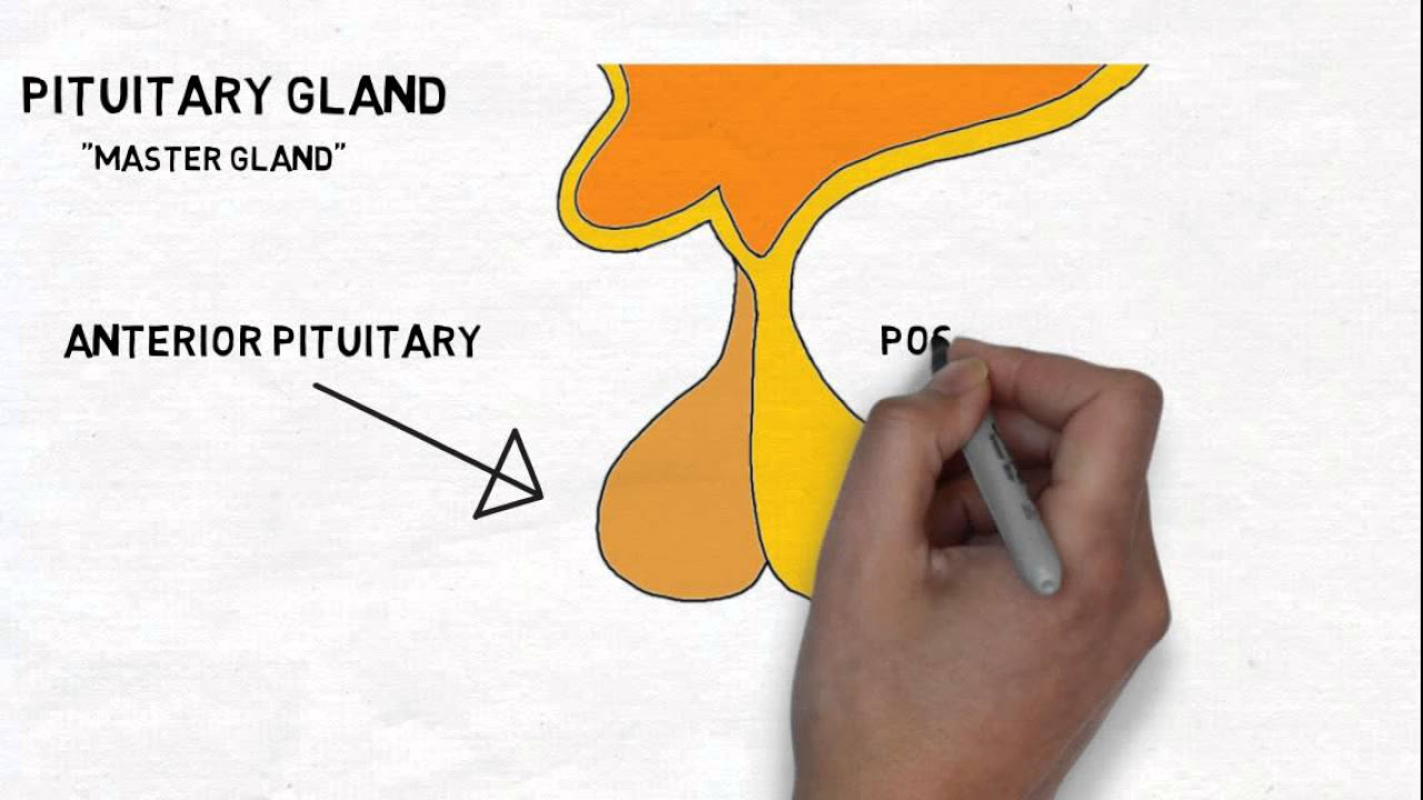 hight resolution of pituitary gland diagram