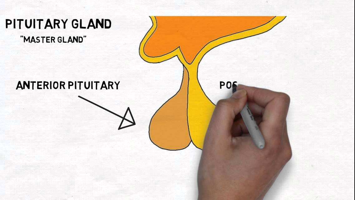 2 Minute Neuroscience Hypothalamus Pituitary Gland Youtube