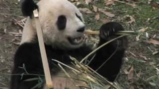 washingtons national zoo says goodbye to tai shan