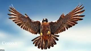 Птицы России, 32 вида. Познавательное видео