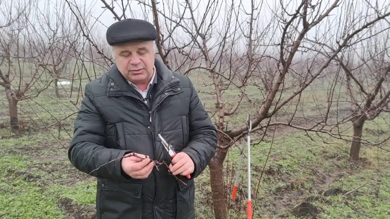 Зимние операции на плантациях сливы для повышения урожайности и качества