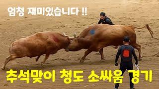 [추석특집] 청도 소싸움 경기