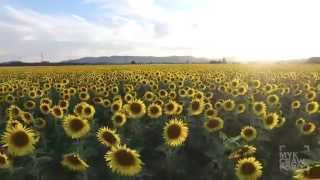 sunflower field flyover in 4k with dji phantom 3 drone