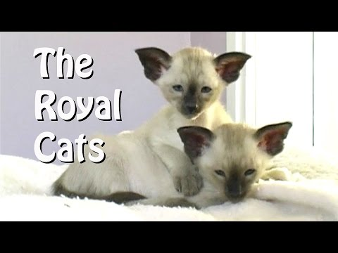 Siamese - the Royal Cats
