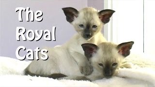 Siamese  the Royal Cats