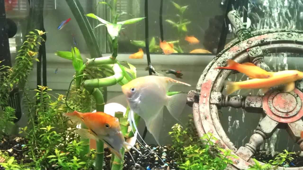 Freshwater aquarium fish mating - Angel Fish Mating Ritual