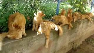 Mein coon Мейн куны самые большие коты