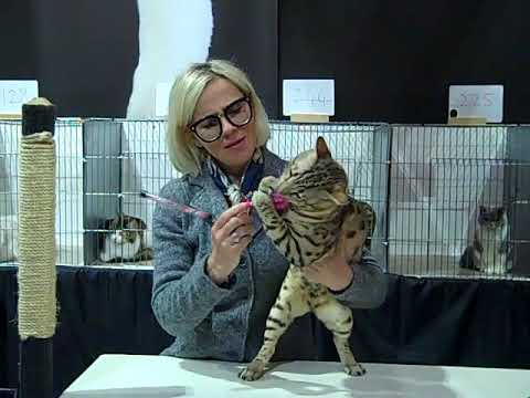 London Cats (Show) - A Judging Round