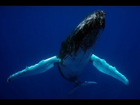 A close encounter with two dancing humpback whales in Bermuda 2014