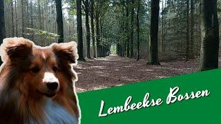 Walk with my Shetland Sheepdog in Lembeekse Bossen