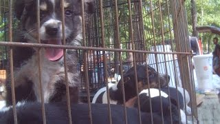 Flea Markets Exposed - Puppy Mill Dogs Being Sold