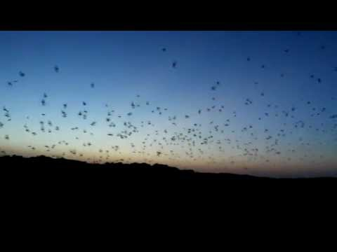 Frio River Bats emerge from their cave near Concan Texas!
