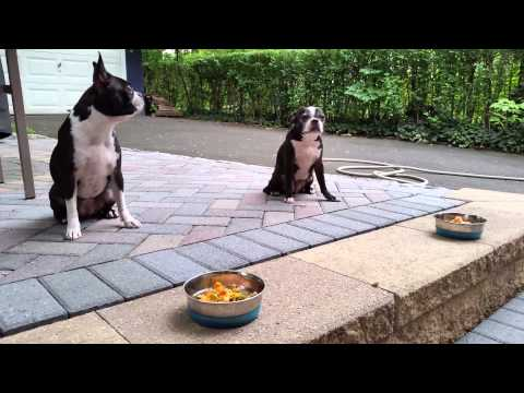 Boston Terriers & Meal Time