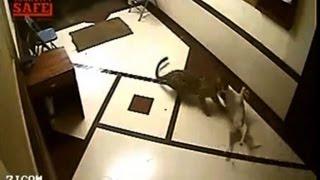 Cachorro vira presa fácil para leopardo na Índia