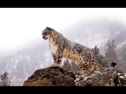 Снежный Барс: Призрак гор | Дикий мир Таласской области