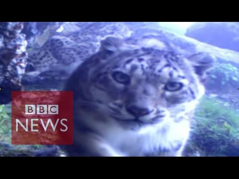 Rare snow leopard footage released - BBC News