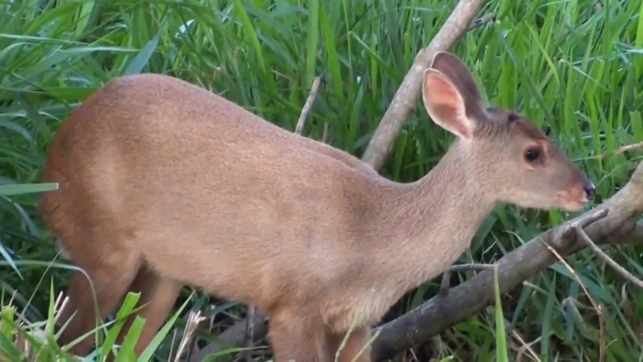 Animais fauna brasileira, Cervídeos,  Mato Grosso do Sul, Fauna pantaneira,