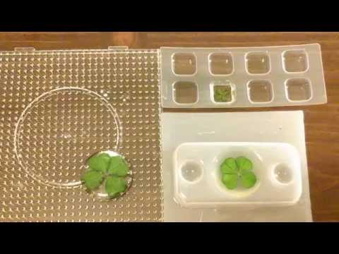 Resin Crafting:  Encasing Four-leaf Clovers