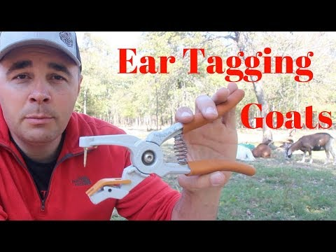 How And Why I Ear Tag My Goats