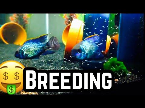 Electric Blue Acara Cichlid Breeding For Profit
