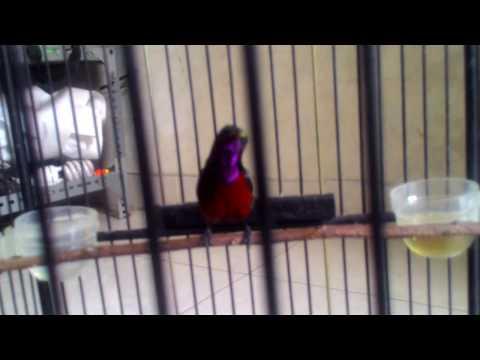 Kolibri ninja dada merah