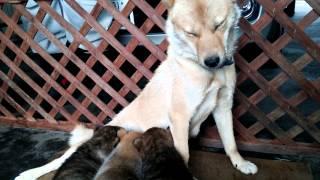母犬の朱利桜は27年4月5日に東北支部の展覧会で未成犬の部、特良1席を...