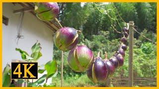 茄子可以嘗試這樣吃,不但味道好而且容易保存【鄉村蓮姐】@4K