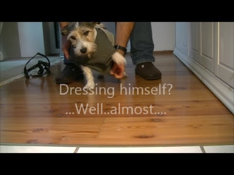 Smart dog dressing himself