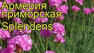 Армерия приморская Спленденс (Splendens). Краткий обзор, описание характеристик, где купить саженцы