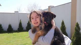 ДРЕССИРОВКА ЩЕНКА Немецкой овчарки.Training German shepherd puppy.Odessa.